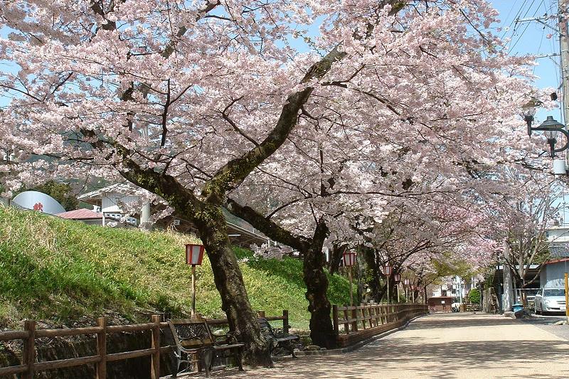 下呂駅周辺の桜<br>【4月上旬頃】