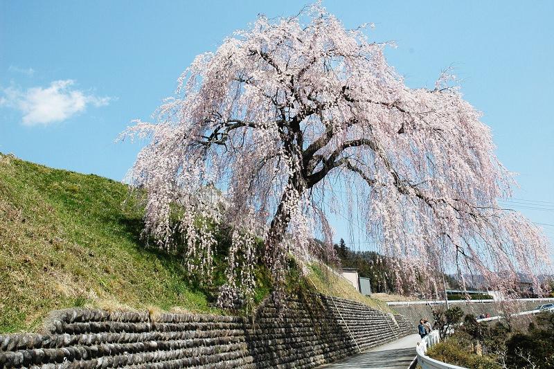 四美・岩太郎のしだれ桜<br>【4月中旬頃】