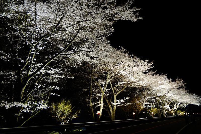 八坂湖畔桜<br>【4月上旬頃】