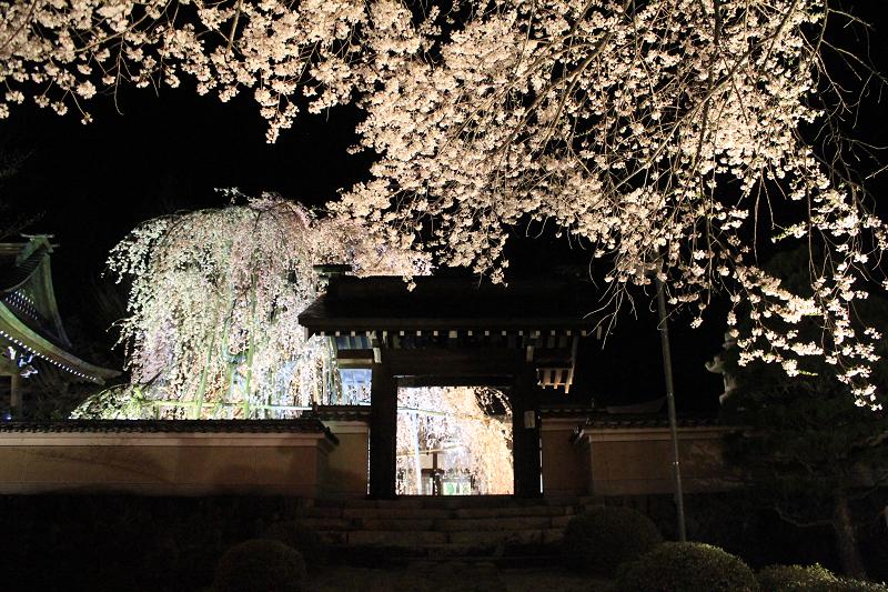 永養寺のしだれ桜<br>【4月中旬頃】