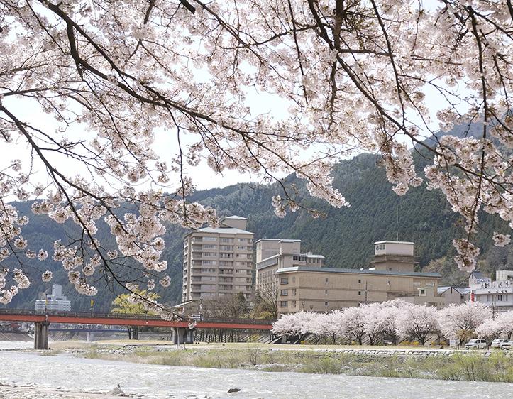 飛騨川沿いに咲く桜