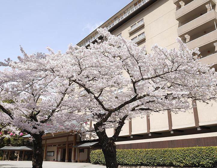 玄関前の桜