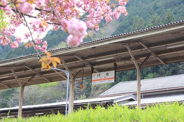 春の桜めぐりツアーのご紹介