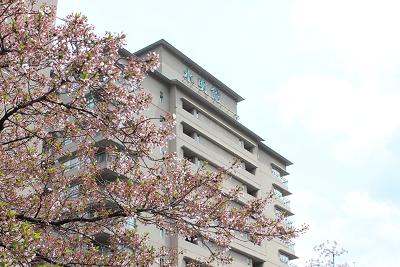 本日の桜だより