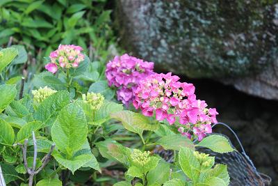 6月の紫陽花だより