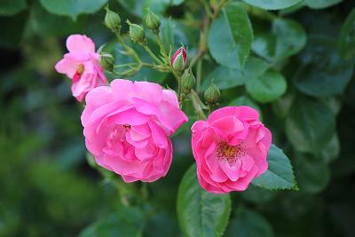 5月の薔薇だより